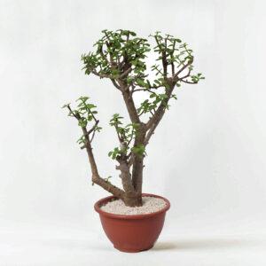 עץ השפע בונסאי